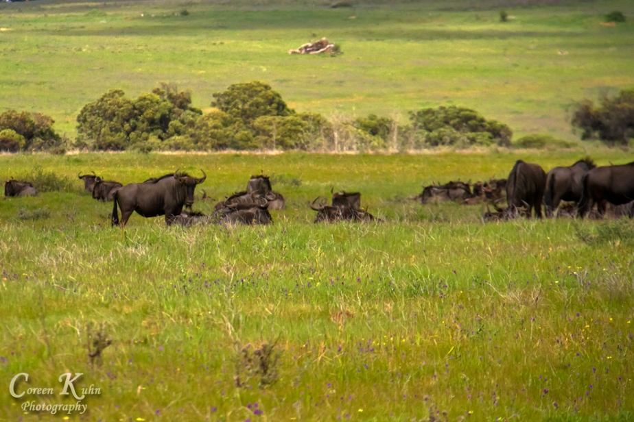 Project 365 Photo a day: 365/176 – Wildebeest