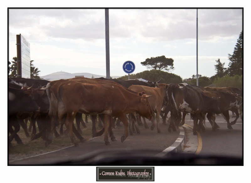 Cattle_5730