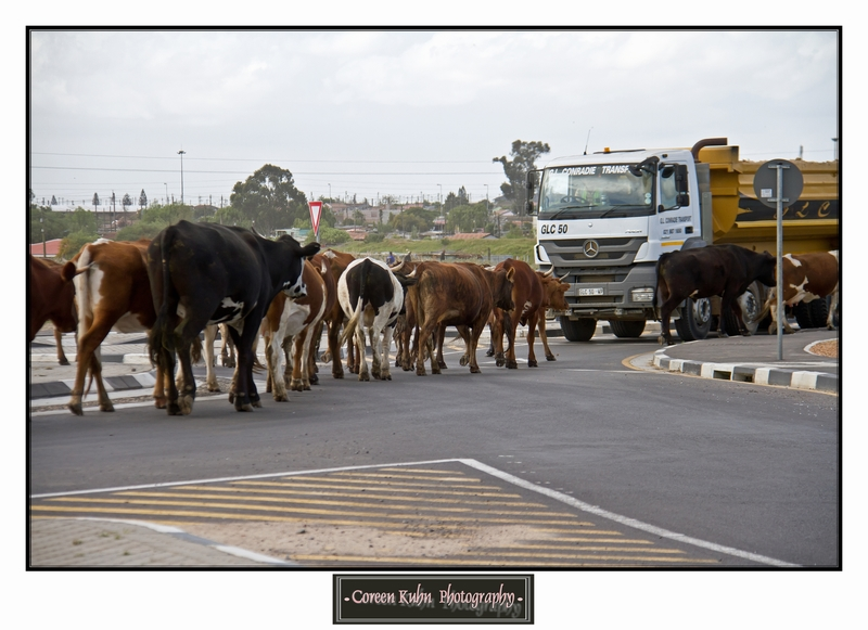 Cattle_5732