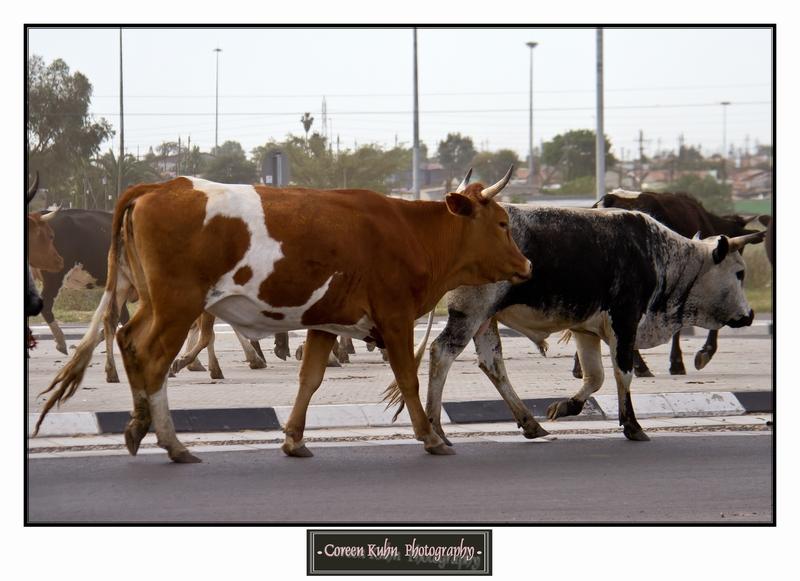 Cattle_5735