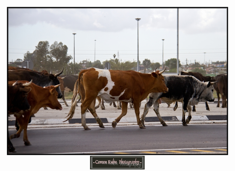 Cattle_5736