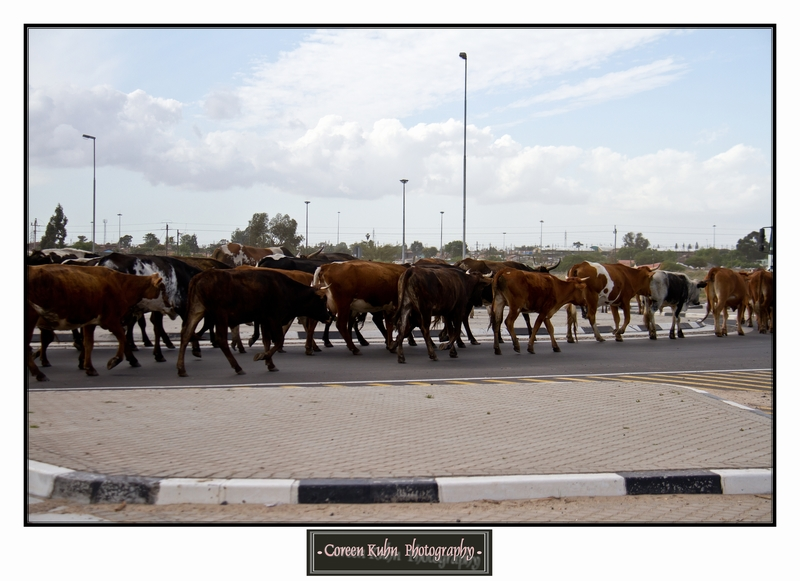 Cattle_5737