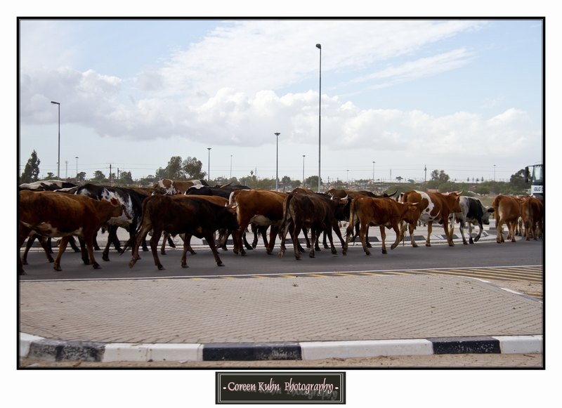 Cattle_5739