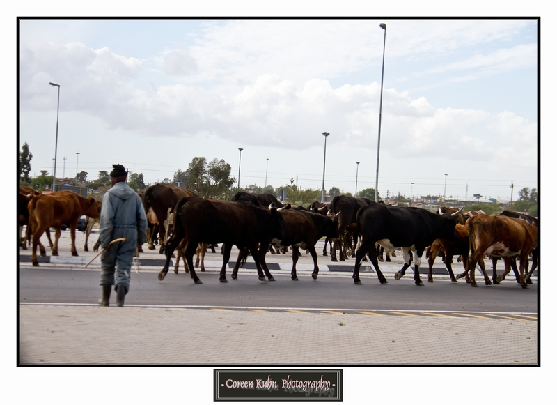 Cattle_5740