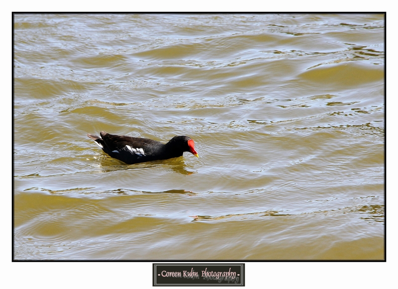 Common Moorhen _1331