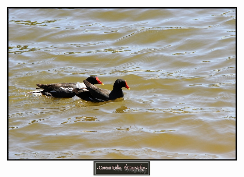 Common Moorhen _1334