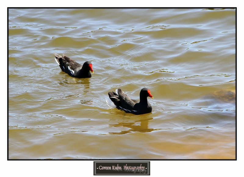 Common Moorhen _1335