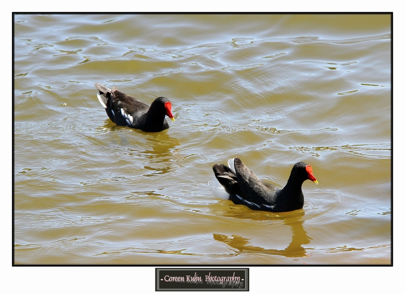 Common Moorhen_1336