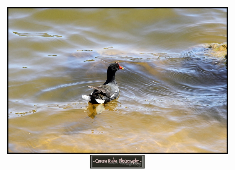 Common Moorhen_1337