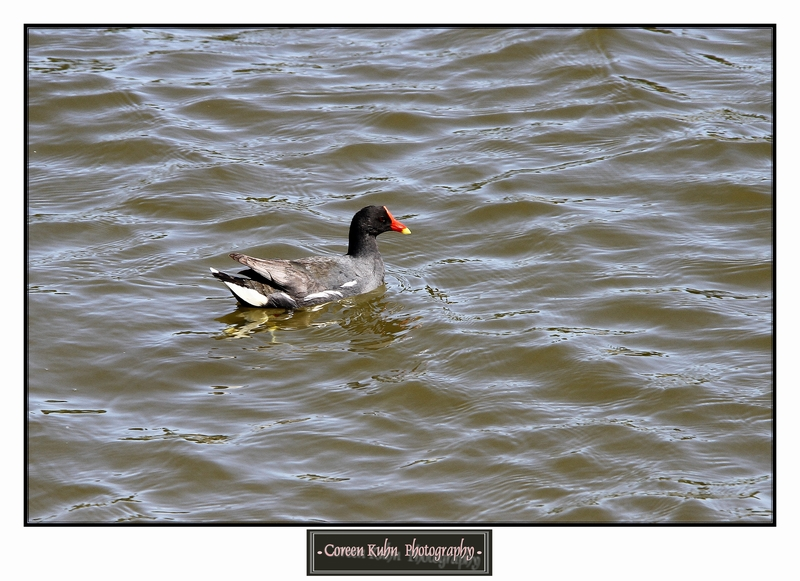 Common Moorhen_1339