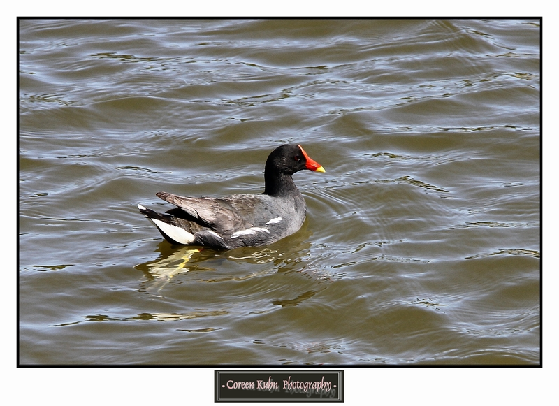 Common Moorhen_1340