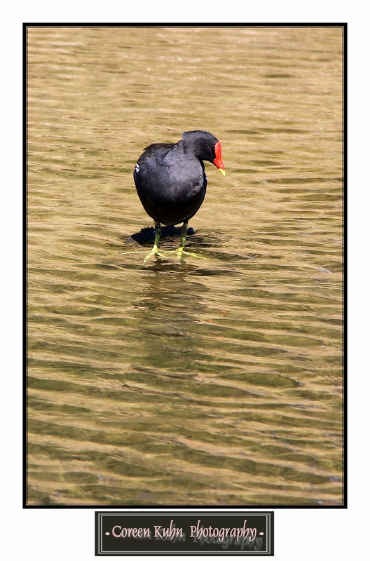 Common Moorhen_1400