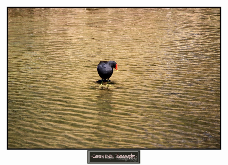 Common Moorhen_1401
