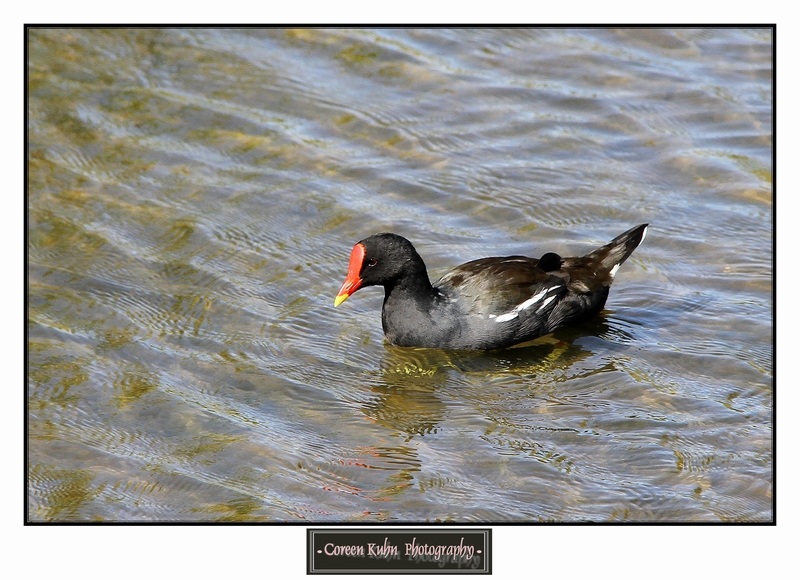 Common Moorhen_1403