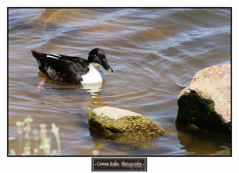 Duck_1272