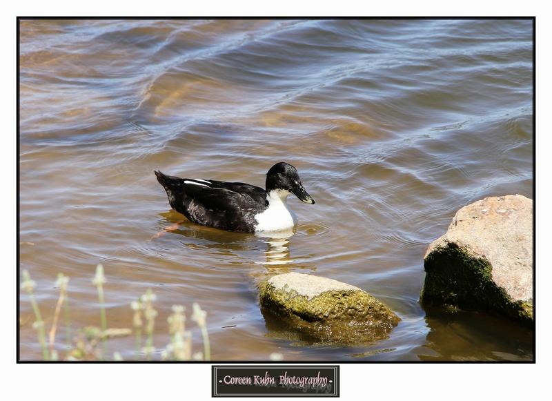 Duck_1273