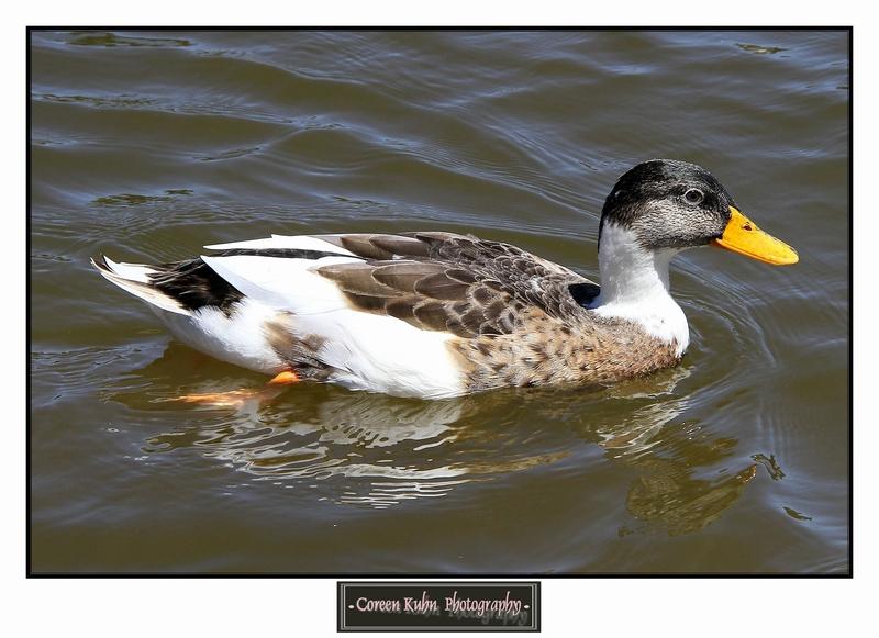 Duck_1280