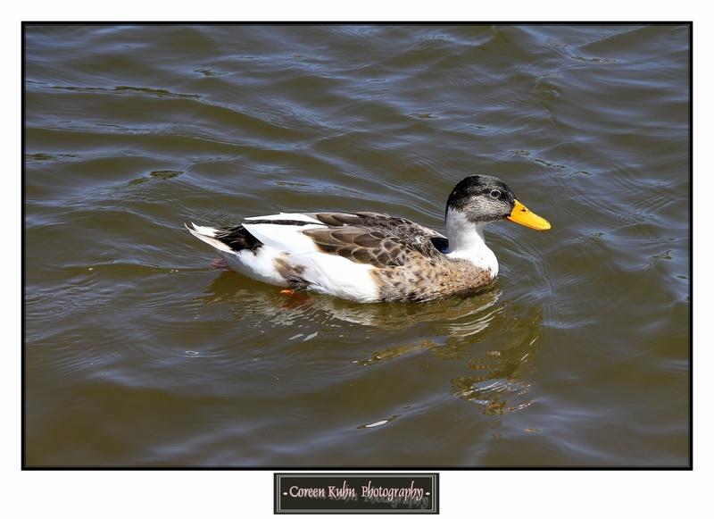 Duck_1281