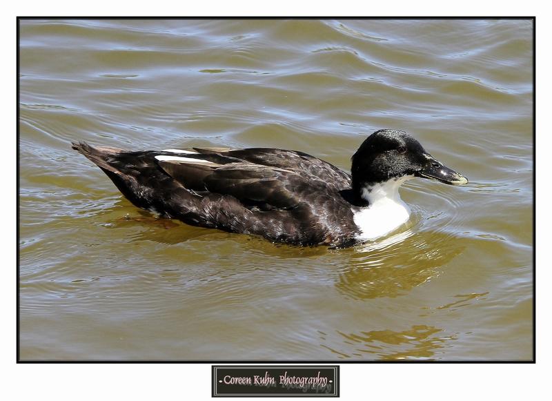 Duck_1282