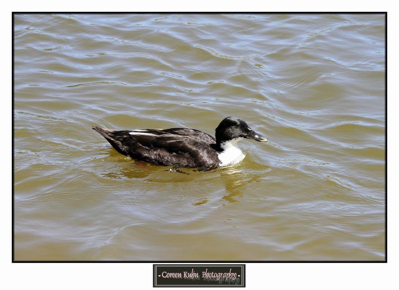 Duck_1283