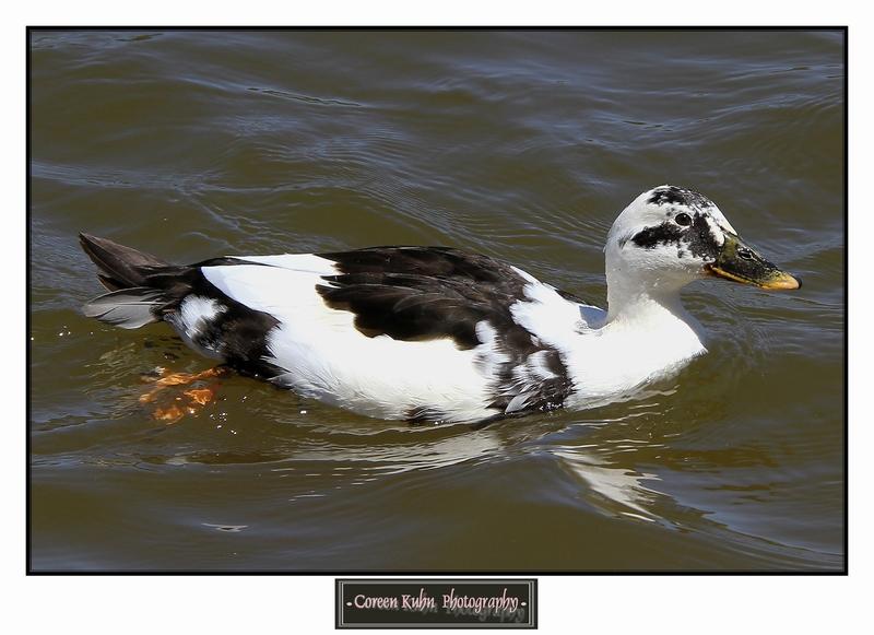 Duck_1284