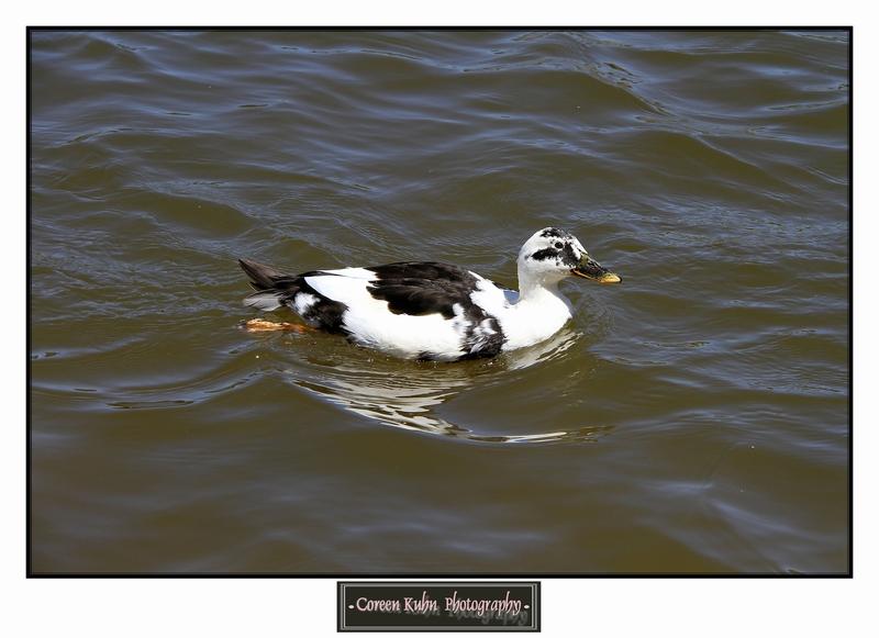 Duck_1285
