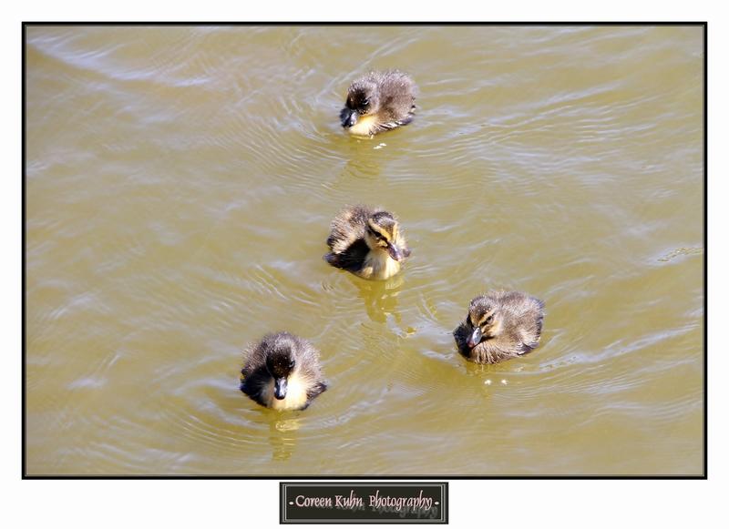 Duck_1316