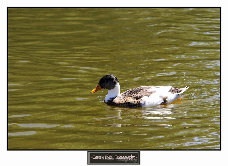 Duck_1318