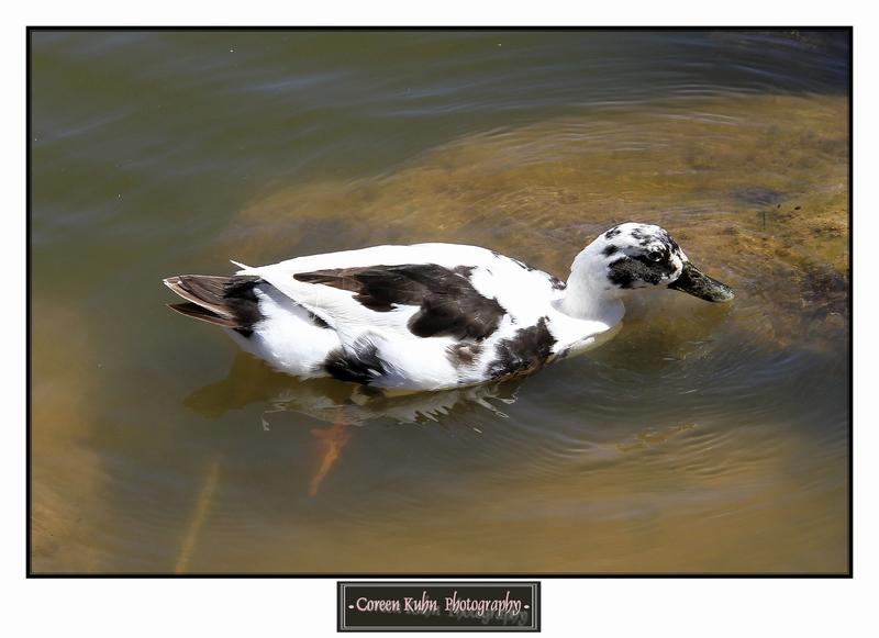 Duck_1320