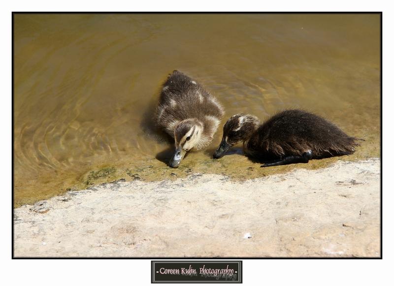 Duck_1321