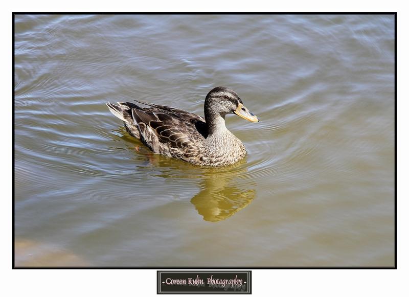 Duck_1322