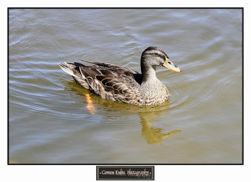 Duck_1323