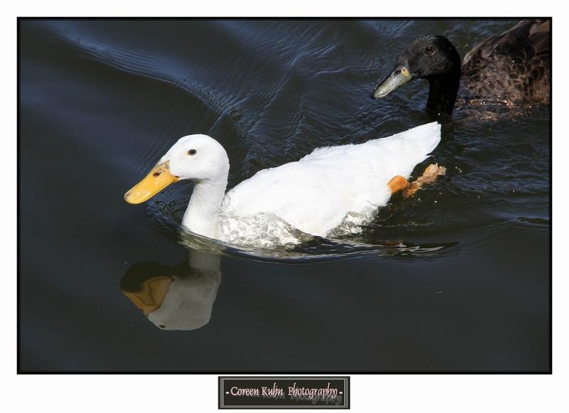 Duck_1384