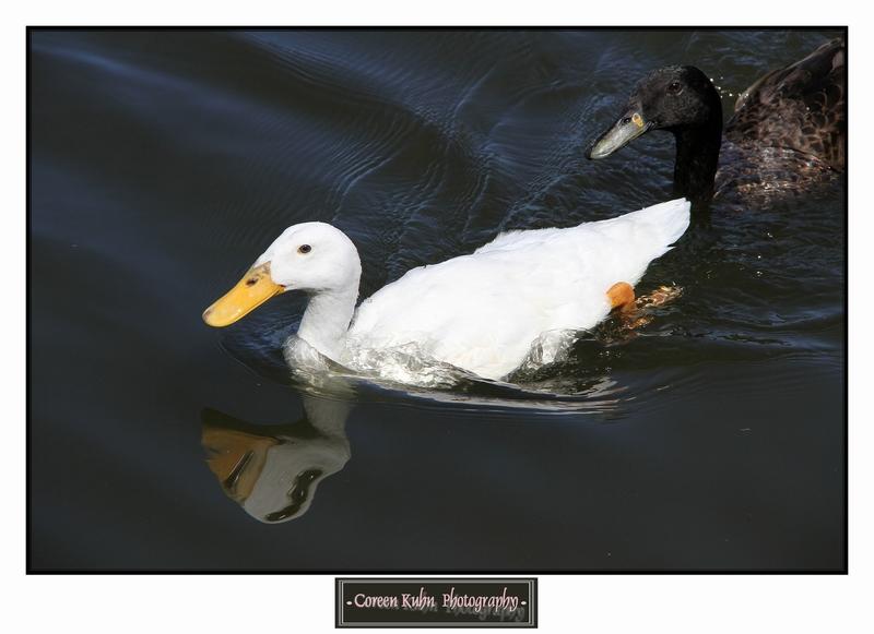 Duck_1385