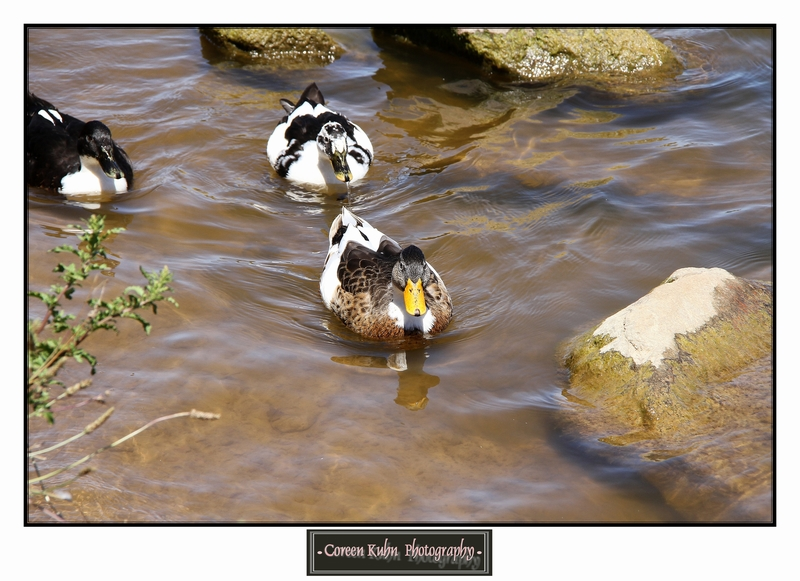 Ducks_1274
