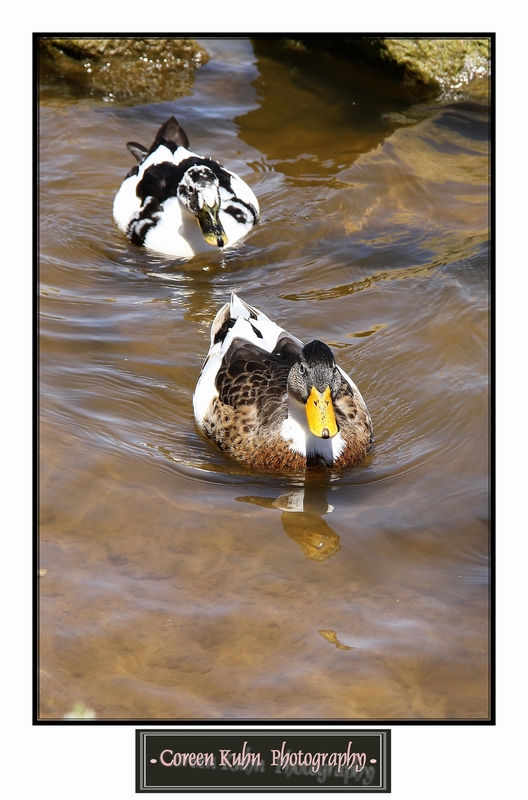 Ducks_1275