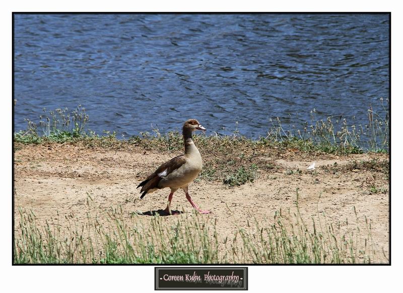 Egyptian Goose_1266