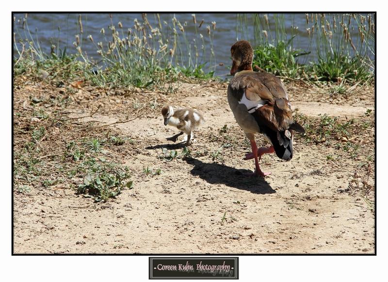 Egyptian Goose_1268