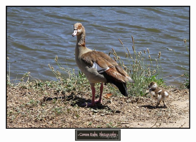 Egyptian Goose_1271