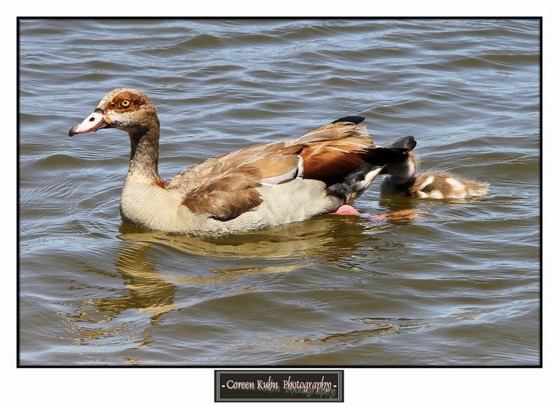 Egyptian Goose_1278