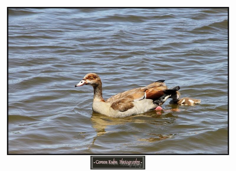 Egyptian Goose_1279