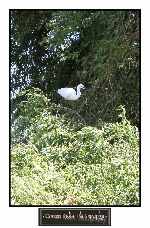 Little Egret_1393