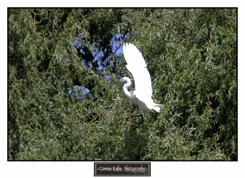 Little Egret_1422