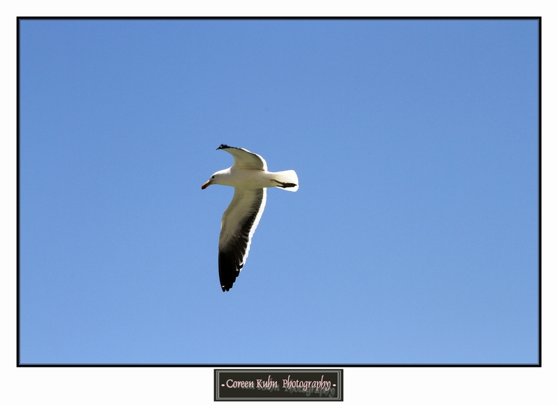 Seagull at Rooiels