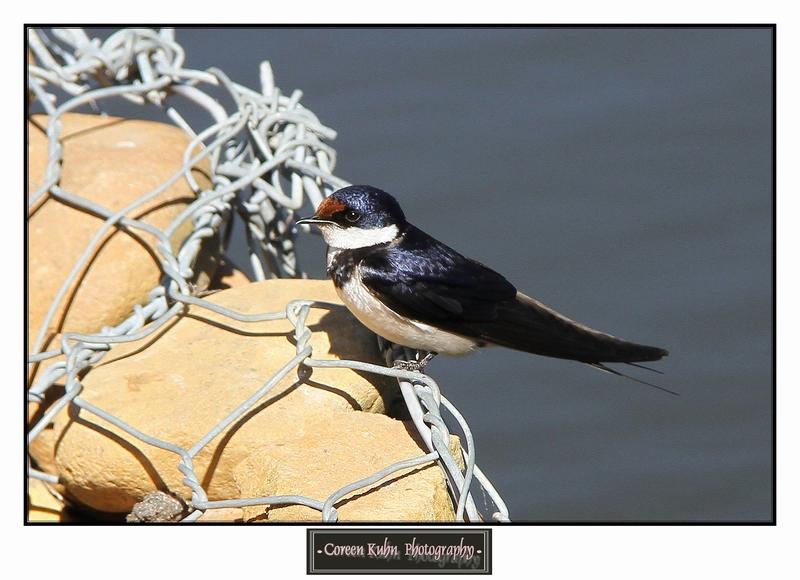 Swallow_1410