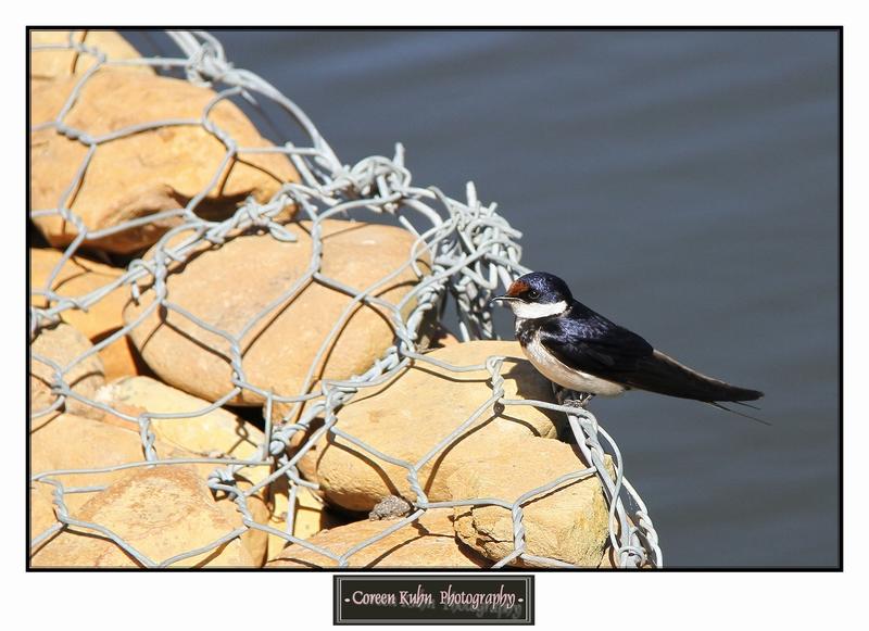 Swallow_1411