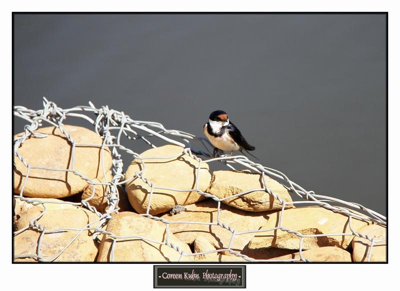 Swallow_1412