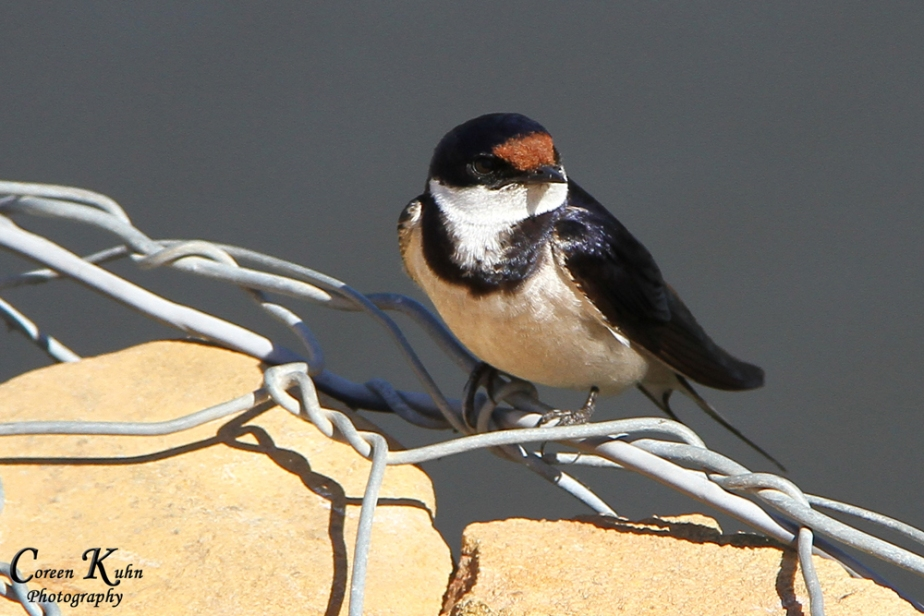 Swallow_1413