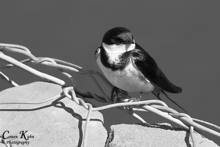 Swallow_1413bw