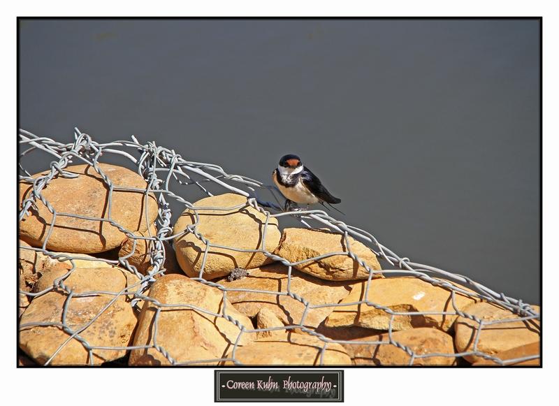 Swallow_1415